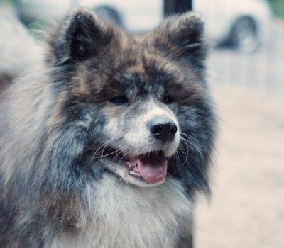 Akita, Long Coated Akita,Sakhalin Husky coat, hair