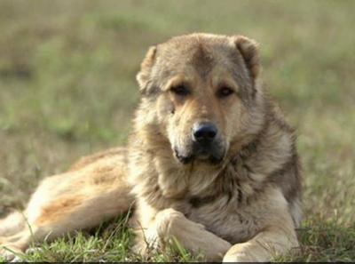 Qartuli Nagazi,Georgian Caucasian Sheepdog, Georgian Sheepdog, Sage Ghafghazi,Kazbegian