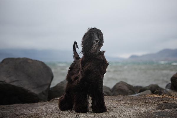 Iceland Kennel Club, Afghan Hound, Icelandic Sheepdog
