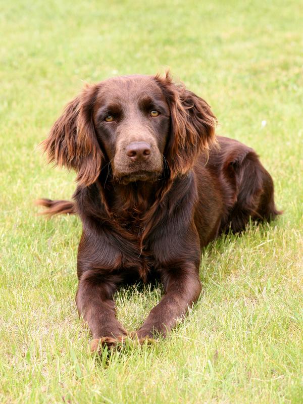 Deutsche Wachtelhund, German Spaniel, quail dog, German Quail Dog,Frederick Roberth