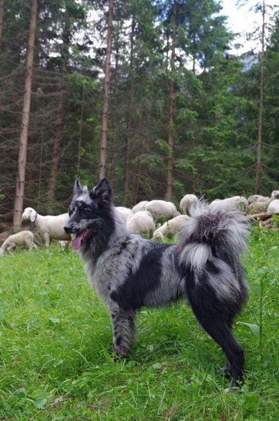Shepherd of Lessinia and Lagorai,Cane da pastore della Lessinia e del Lagorai, Pastore del Lagorai, Pastore della Lessinia,Pastore della Val d'Adige