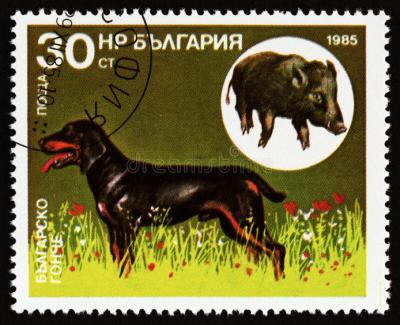 Bulgarian Scenthound, Balgarsko Gonche, Bulgarian Gonche, Mad Forest Scenthound, Ludogorsko Gonche