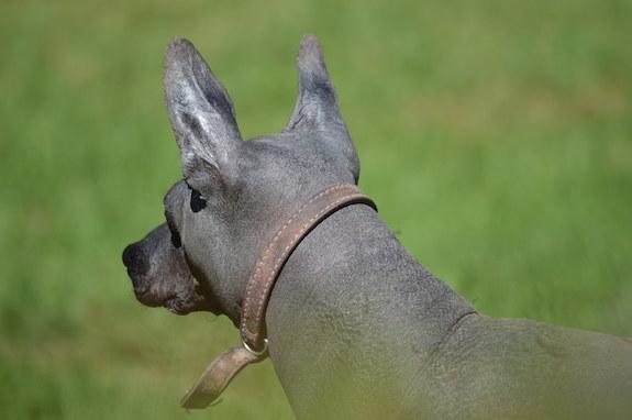 Xoloitzcuintli, Mexican Hairless Dog, Chinito Junior, Valetska Radtke, Mee Too, Norman Pelham Wright
