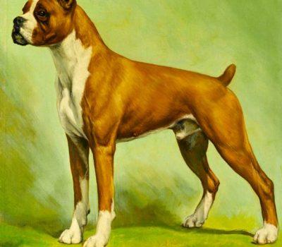 Boxer, type, Friederun von Miran-Stockmann, Ch. Bang Away of Sirrah Crest,